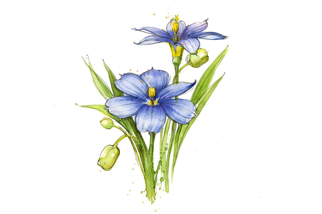 Texas wildflowers blue-eyed grass