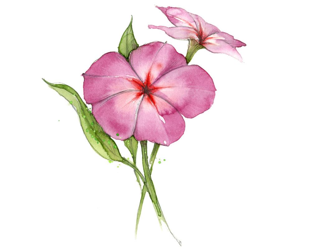 Texas wildflowers Drummond Phlox
